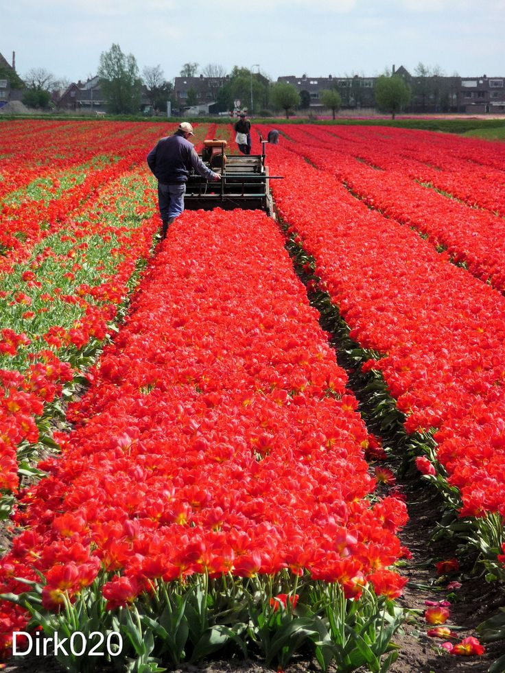 Right on time at this tulip field