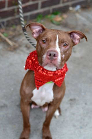 ★1/27/16 STILL THERE-A MOVING TARGET!!★SUPER URGENT★RETURNED!!! Brooklyn Center - safe 12/13/15 - LOLA – A1058600 ***RETURNED 12/28/15*** FEMALE, BROWN / WHITE, AM PIT BULL TER MIX, 2 yrs, 1 mo RETURN – EVALUATE, HOLD FOR ID Reason PERS PROB Intake condition UNSPECIFIE Intake Date 12/28/2015, From NY 11208, DueOut Date 12/28/2015,