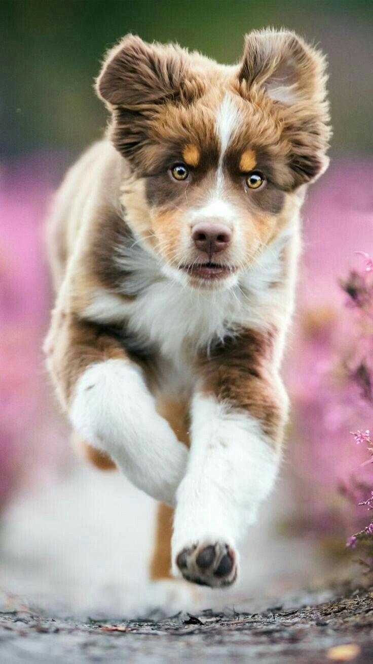 Pin By Susan On Pets Australian Shepherd Puppy Aussie Dogs Aussie Puppies