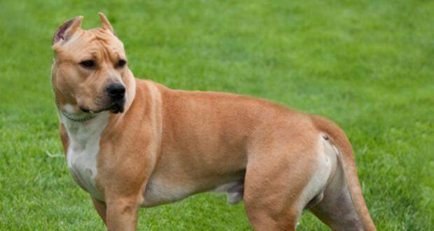 American Staffordshire Terrier Diese amerikanische Rasse ist Teil der Pit Bull Familie und wurde zur Bekämpfung von Hunden gezüchtet. Sie sind stark und wiegen etwa 62 bis 88 Pfund. Sie sind bekannt, hartnäckig aber freundlich und loyal zu sein. Diese kurzhaarige Rasse lebt im Durchschnitt 10 bis 12 Jahre.