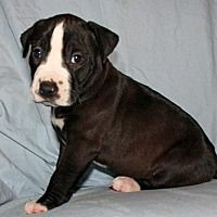 Saratoga, New York - American Bulldog. Meet Hosanna, a for adoption. https://www.adoptapet.com/pet/20395350-saratoga-new-york-american-bulldog-mix