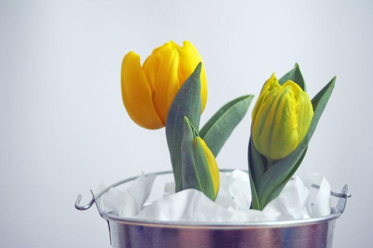 Tulip Tulipán