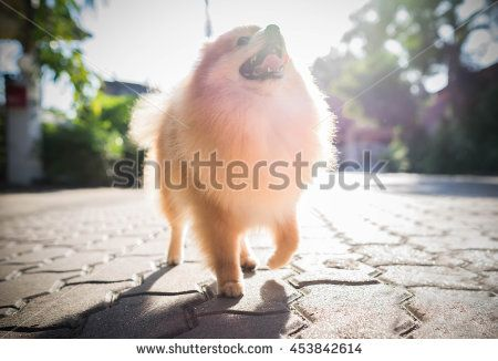 pomeranian dog in summer park, Soft focus with sun.  - stock photo