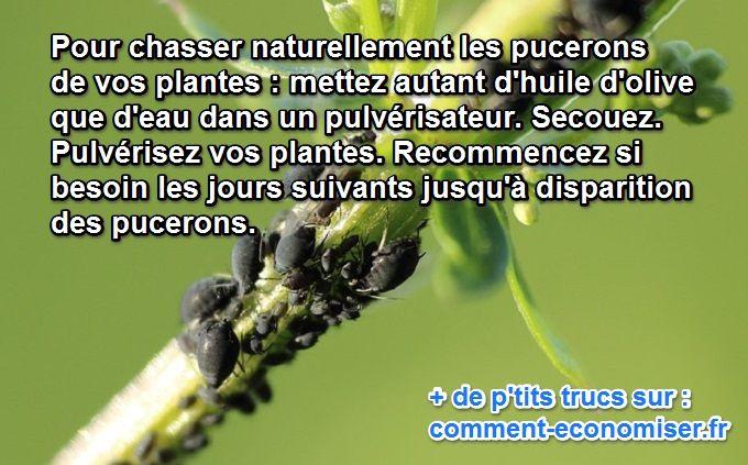 Enfin l 39 anti pucerons naturel efficace - Traitement naturel contre les pucerons ...