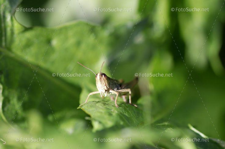 Foto Heuschrecken Insekten   Fotosuche.net   Ihr neues Fotoportal   Heuschrecken   Frühling   Grashalm   Insekten   Hüpfen  