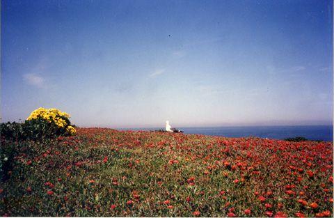 America's National Parks ~アメリカの国立公園を訪ねて~ : Channel Islands National Park ワイルドフラワー