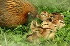 Phoenix chichen with her cute chicks