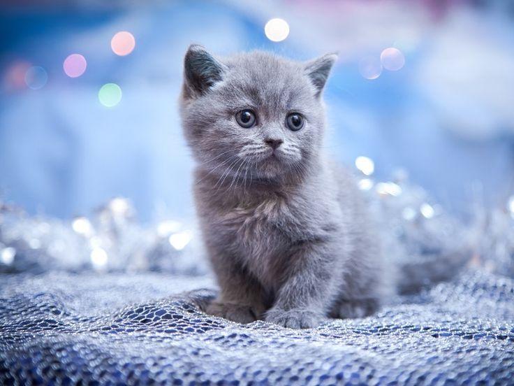 katzenbabys lustig | Soooo knuffig: Graue Kätzchen zum Dahinschmelzen - Seite 1