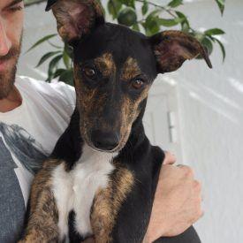 Keskikokoiset ja isot koirat   Dog Breed   Espanjan Katukoirat ry