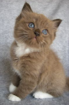 Seal Mitted Sepia Ragdoll Kitten - Ohhh let me smooch you on your button nose!!