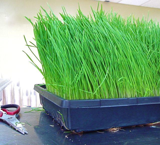 """Los beneficios del """"Wheatgrass"""" o pasto de trigo: Pasto de trigo o """"Wheatgrass"""""""