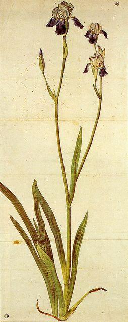 Albrecht Dürer | Iris, ca 1503, watercolour, pen, ink and body-colour, Kunsthalle Bremen Museum, Germany