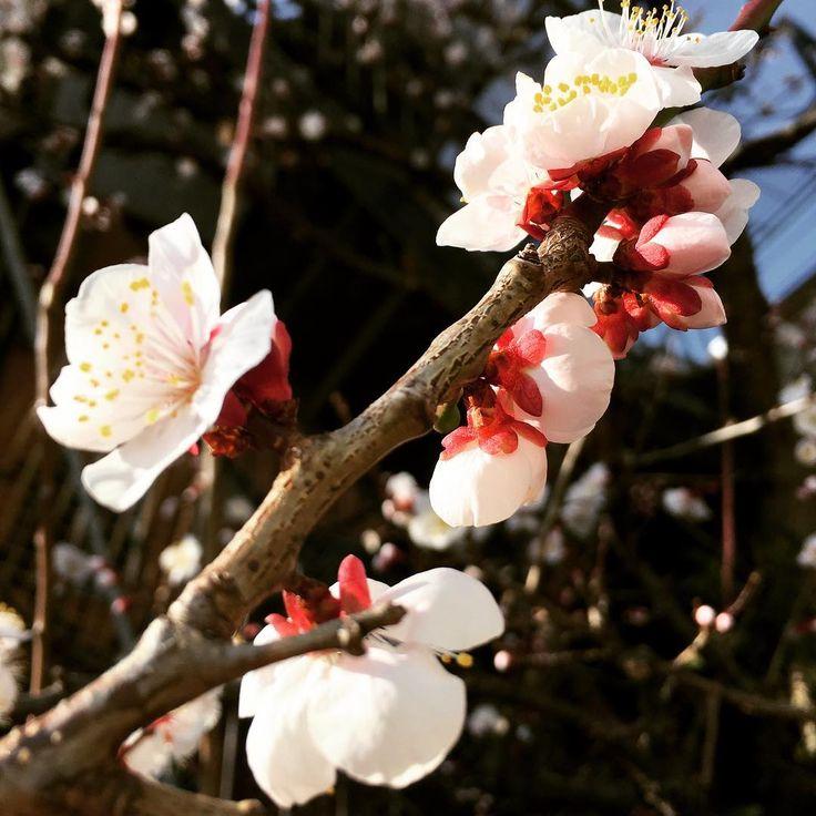 Всех с первым днем весны, друзья. В Японию весна пришла как на календаре, так и по погоде. Рядом с домом зацвела такая красота. Это, наверное, слива? Или может сакура все-таки?  Нравятся ли вам фотографии природы в моем инстаграме?  #япония #токио #весна #слива #сакура #цветы #путешествие #japan #tokyo #spring #sakura #plum #sakurablossom #flovers #travel #日本 #東京 #春 #桜 #梅 #旅行 #さくら
