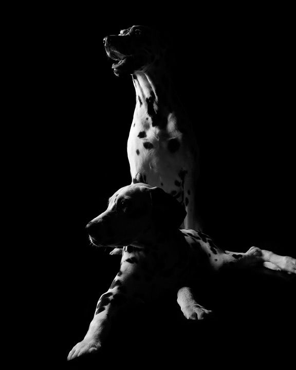 Black and white photo of two dalmatians in the studio
