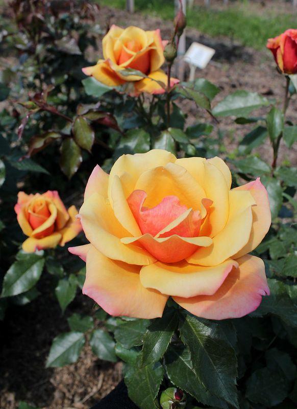 ' Belle Epoque' | Hybrid Tea Rose.  Fryer 1994