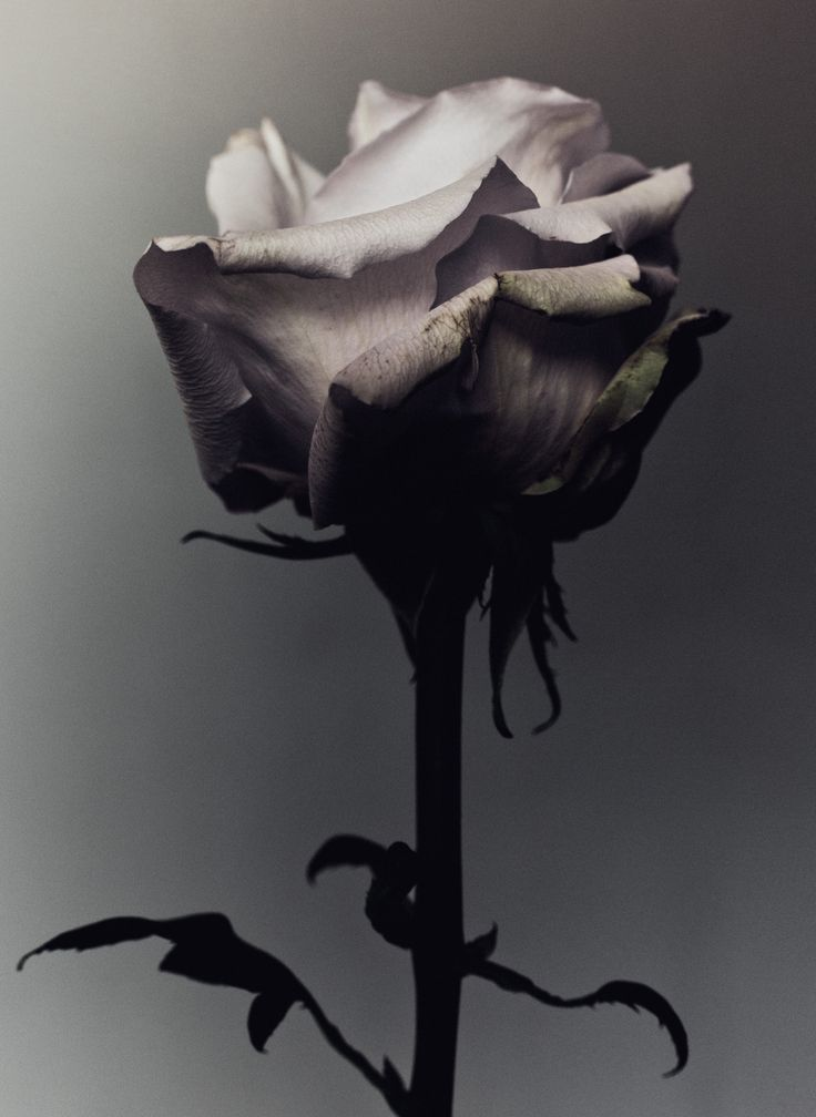 Decaying rose was shot by Billy Kidd.
