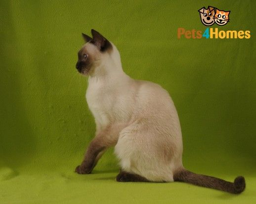 Tonkinese Kittens and Cats for Sale | Breed Information at Pets4Homes