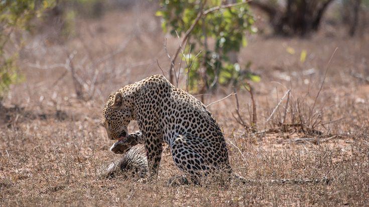 kruger-leopard-and-porcupine-sighting2-john-coe-7