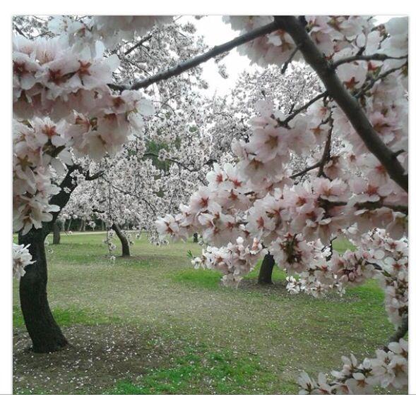 Almendros en flor ! Parque Quinta de la Fuente del Berro.  Madrid