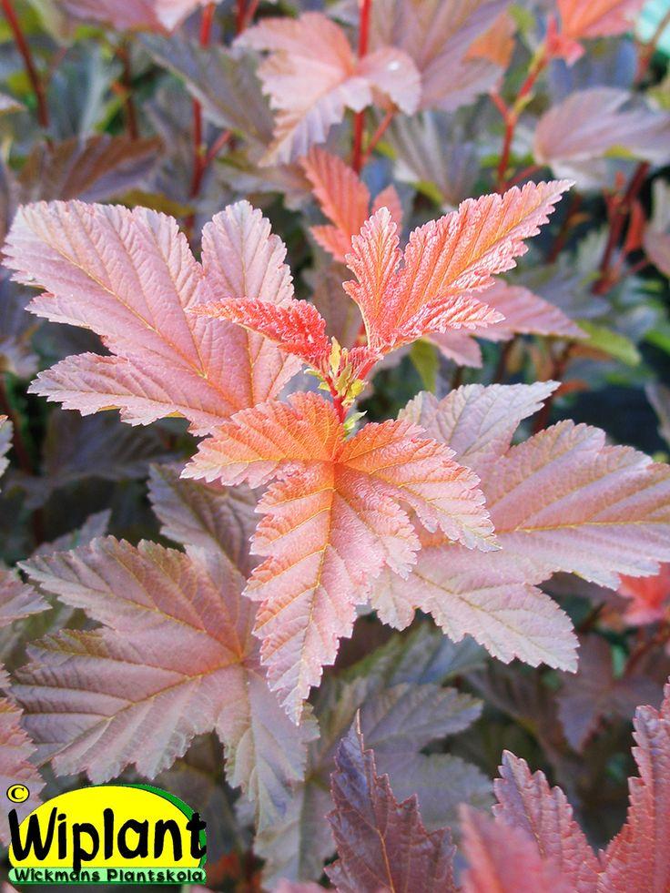 Physocarpus op. No2, rödbladig smällspirea. Ny sort framtagen på Wickmans Plantskola. Först på våren gröngulrodnande blad senare röda blad, orange toppar. Vita blommor i juni.