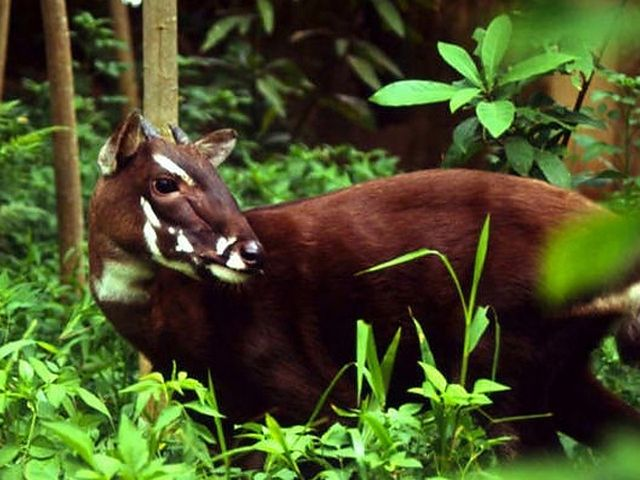 The Saola: a bovine discovered in 1992 that is found only in the Annamite Mountains of Vietnam and Laos. The animal is listed as 'critically endangered' by the WWF, and scientists have categorically documented saola in the wild on only four occasions to date.