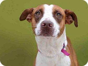 Denver, CO - Australian Shepherd Mix. Meet SADIE, a dog for adoption. http://www.adoptapet.com/pet/18024396-denver-colorado-australian-shepherd-mix