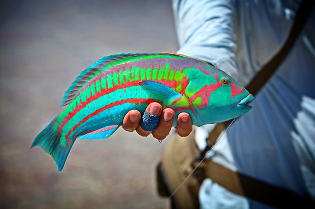 Christmas Island Rainbow Wrasse on the fly