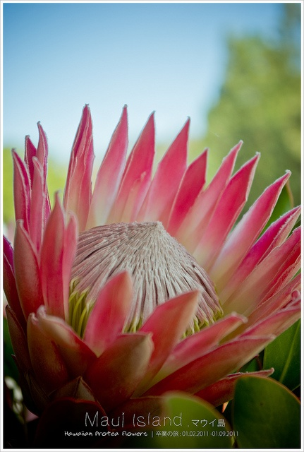 Hawaiian protea flowers by L.F.Lee, via Flickr