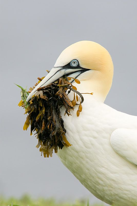 Northern Gannet with seaweed for nest, Bonaventure Island, Quebec    Image Copyright 2008:  Arthur Morris/BIRDS AS ART