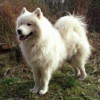 #dogalize Razze cani: il cane Samoiedo carattere e prezzo #dogs #cats #pets