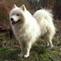 #dogalize Dog breeds: American Eskimo Dog temperament and personality #dogs #cats #pets