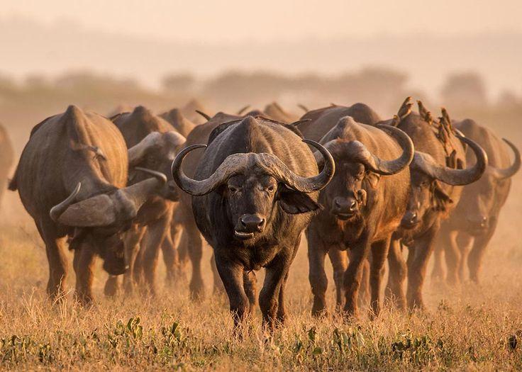 I bufali sono una vista consueta, ma che suscita sempre un certo timore, nei parchi nazionali sudafricani ©MHGALLERY / iStockphoto / Getty Images