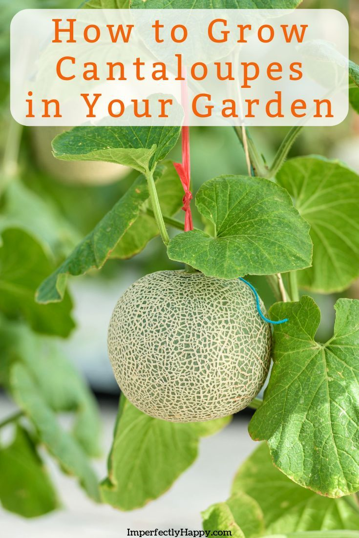 Growing Cantaloupe Everything You Need To Know Growing