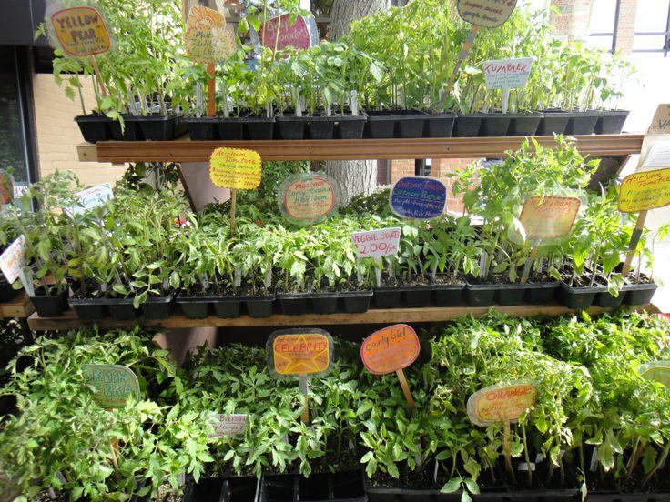 tomato plants for sale