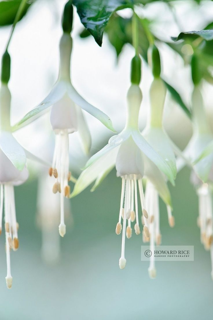 Howard Rice Garden Photography - . Hanging 'Snow White'  Fushia - I purchased a  plant of this variety today!