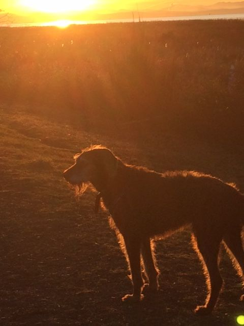 my dog.. Indie.. weimerdoodle.photo by Judy Jones