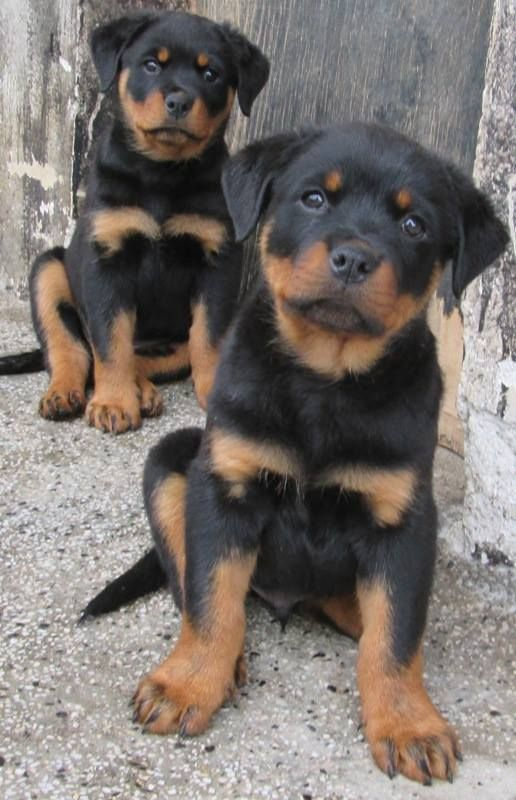 Pin By Anandraj Raj On Rottweilers Rottweiler Dog Pets Dogs
