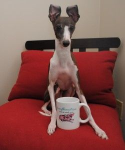 Coffee time! #ItalianGreyhound