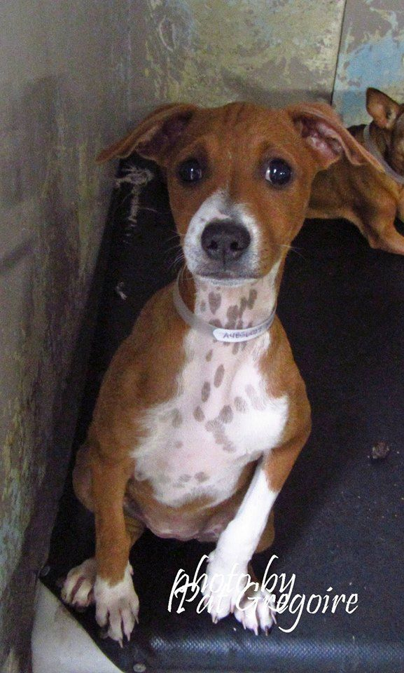 SAFE ❤️❤️--- A4856027 My name is Candy. I am a very sweet 3 month old female yellow/white Doberman Pinscher mix. My owner left me here on July 15 - along with my sibling, A4856025 - next photo). available 7/19/15 Baldwin Park shelter https://www.facebook.com/photo.php?fbid=1000198799991957&set=a.705235432821630&type=3&theater