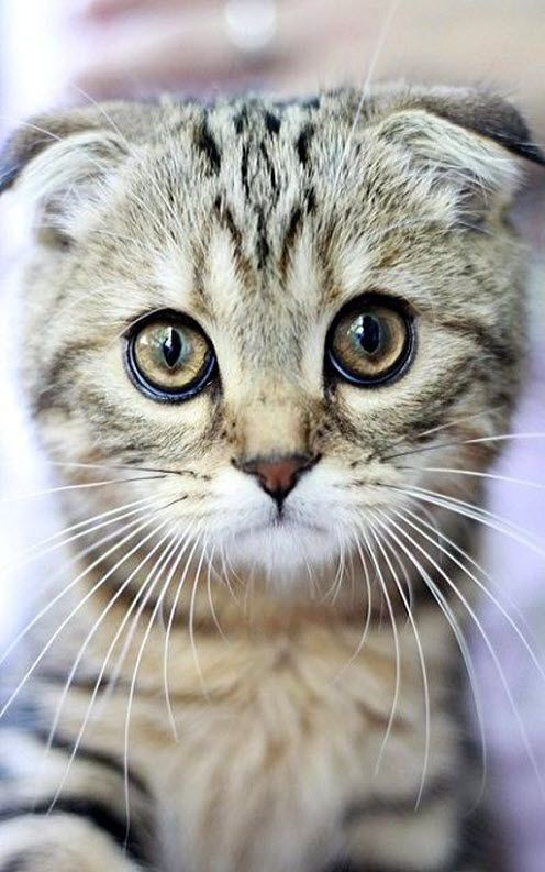 What a gorgeous Scottish Fold kitty…..