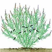 Lavendel schneiden: Wieviel bzw. wie kurz sollte m…