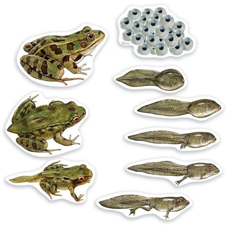 Science grenouilles magnétiques - Cycle de vie de la grenouille