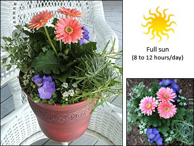 25 best ideas about Gerbera daisy care on Pinterest
