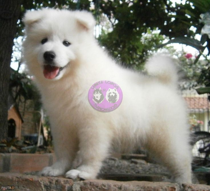 Hermosos cachorritos samoyedo el mejor regalo para ti