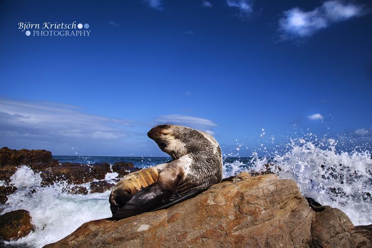 A Cape Seal pup in Muizenberg, South Africa.
