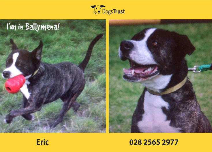 Eric at Dogs Trust Ballymena loves to play with his toys, he enjoys his walks and getting treats too!! Unfortunately, he dislikes other dogs through lack of socialising as a puppy. His favourite thing to do is to curl up for an afternoon nap, in his armchair.