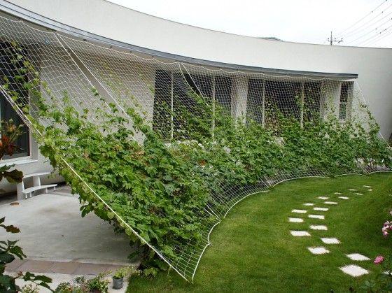 Voici une solution originale pour créer de l'ombre à l'intérieur d'une habitation. Des plantes grimpantes annuelles poussent sur des filets et on retire le tout en hiver pour laisser passer la lumière.