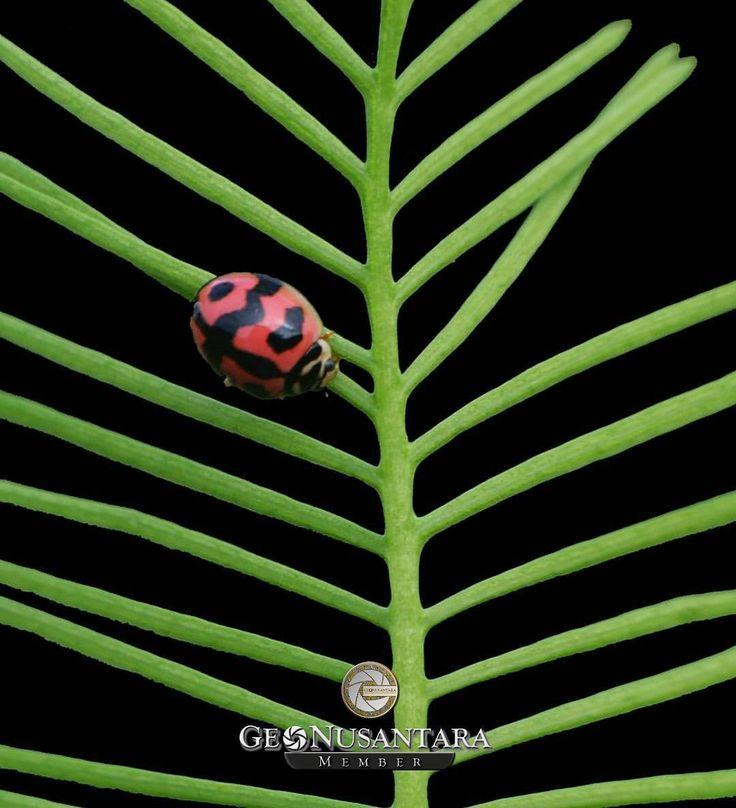 Terima kasih dan selamat kepada : @meel_jameel  Sebagai Member Geonusantara Hari Ini. Mari berbangga menjadi Keluarga #Geonusantara  Keterangan : Makrofotografi Kumbang Koksi (Cheilomenes lunata)  Foto dipilih oleh Tim Kurator Geonusantara ___________________ Divisi Provinsi Geonusantara : @GeoAceh (Aceh) @GeoSumut (Sumatera Utara) @GeoJabodetabek (Jakarta Raya) @GeoJabar (Jawa Barat) @GeoJateng (Jawa Tengah) @GeoDIY (Daerah Istimewa Yogyakarta) @GeoJatim (Jawa Timur) @GeoKalsel (Kalimantan…