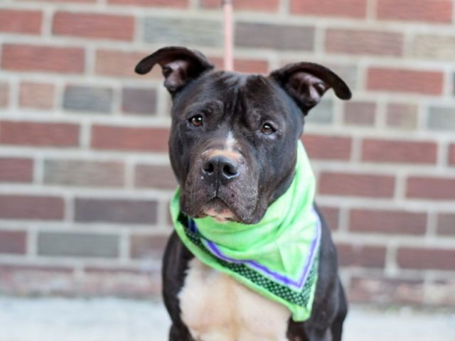 YALE - A1096531 - - Brooklyn  Please Share:TO BE DESTROYED 11/27/16 A volunteer writes: When I first met Yale, I liked him a lot. He had all the makings of a great family dog-He walks nicely on the leash, seems housetrained and sits on command. He has such a distinguished face-a little bit of white that lets you know he's had a couple years under his belt and is more of the calm, easy going nature. But it wasn't until our second encounter that I got to see him r