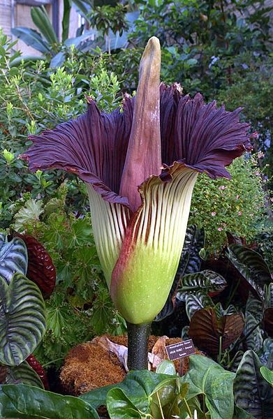 The Titan Arum is also the largest flower in the world. How can this be? The Titan Arum is the largest composite flower, while Rafflesia is the largest individual flower! Both are also called Corpse Flower, because of their incredibly putrid aroma. Large = Stinky!